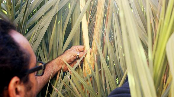 Joan Vaqué, mostrant la part aprofitable de la palmera d'on surt la palma blanca, que adquireix aquest color després de lligar la planta durant mesos per què no hi arribi la llum del sol. Foto: Carles X. Cabós.
